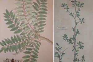 frankincense_myrrh_botany_prints1